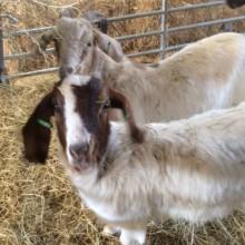 Farm Animals in Sandbach